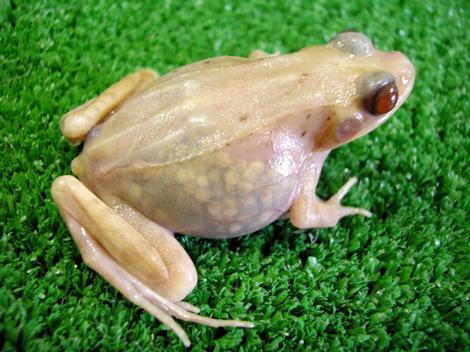 see-through-frogs